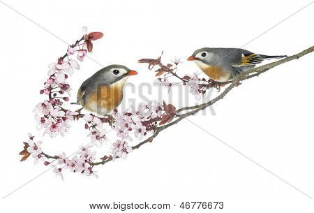 Two Red-billed Leiothrix, Leiothrix lutea, perched on a branch, isolated on white