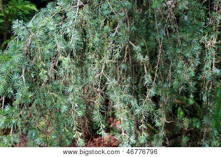 Weeping Evergreen Tree