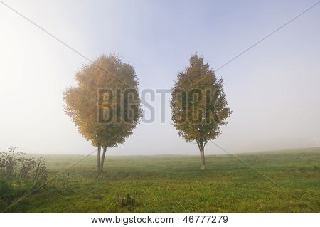 Two Maple Trees On A Foggy Autumn Morning