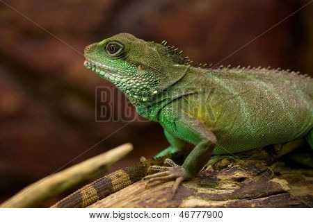 Iguana, Chinese Water Dragon