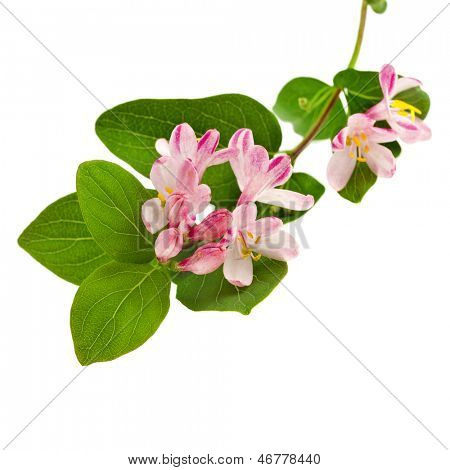 Pink honeysuckle in blossom (Lonicera tatarica ) on white background