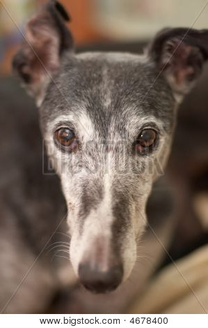 Portrait Of Old Rescued Greyhound