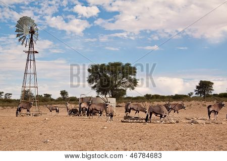 Oryx Grazing In The Desert At Water Hole