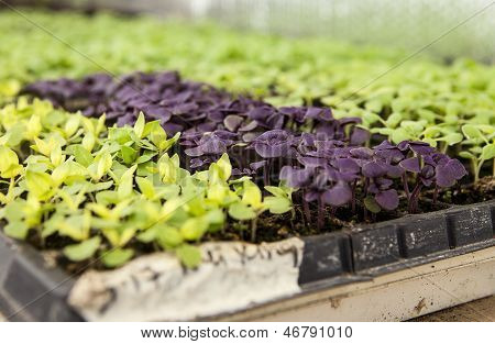 Trays Of Baby Lettuce Plants