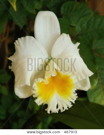 White Hybred Gold Bell