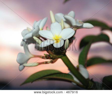 White Plumerias