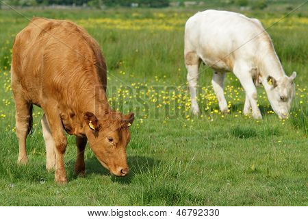Brwon And White Cows In Green Field