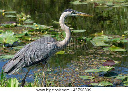 Great Blue Heron (Ardea herodias) Wading At Waters Edge