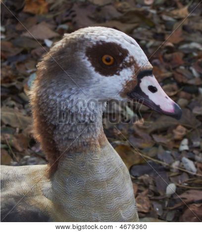 Fred, The Egyptian Goose