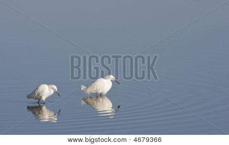 Egrets Fishing Together