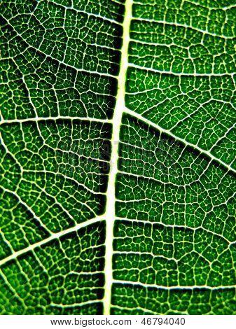 Macro Fig Leaf