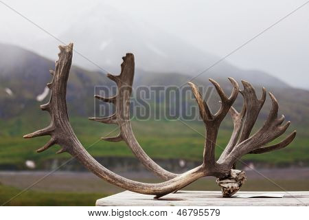 Horns in Denali NP,Alaska