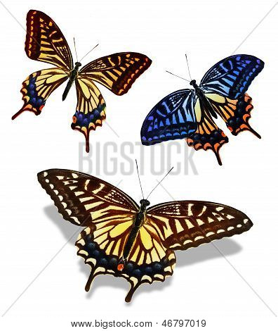 Three Color Butterfly, Isolated On White Background