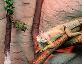 stock photo of gekko  - an iguana on a craggy tree branch - JPG