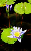 foto of corbel  - Colorful lilies in a pond to a large audience - JPG