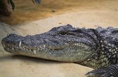pic of gator  - Smiling Gator posing for the camera on the shore - JPG