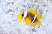 Amphiprion bicinctus, anemonefish in bleached sea anemone.