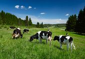 stock photo of pastures  - Cows grazing on a spring meadow in sunny day - JPG