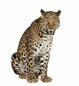 stock photo of leopard  - Leopard sitting - JPG
