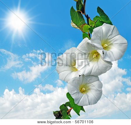 convolvulus on blue sky