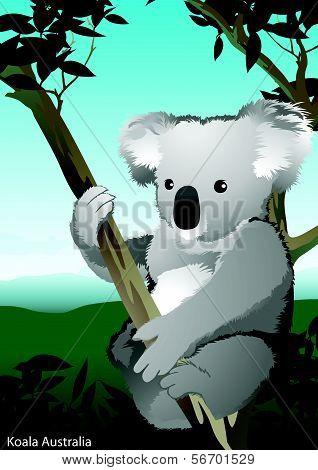 Koala In Tree, Australia.