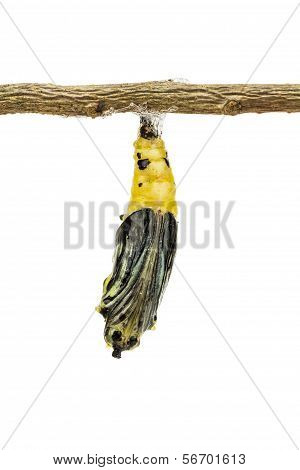 Mature butterfly pupa