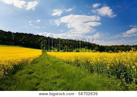 landscape with rape field