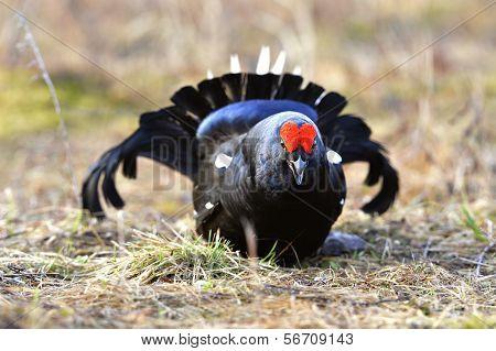 Portrait Of A Lekking Black Grouse