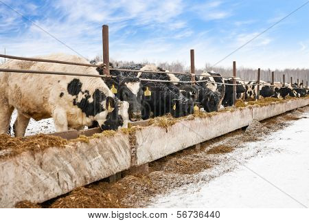 Feeding cows on the farm in winter