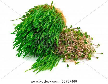 Wheat Germ And Radish Germ