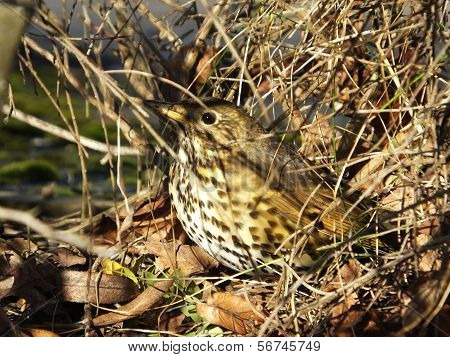 Song Thrush In Cover