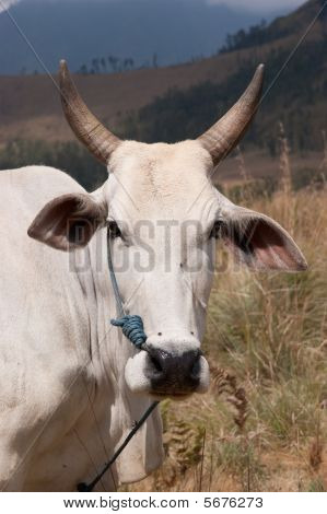 Cattle In Grassland