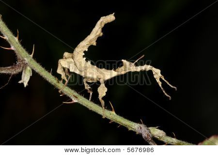 Giant Prickly Stick Insect, Macleay's Spectre