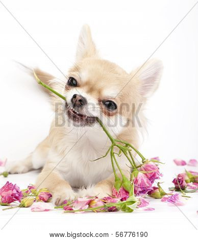 Smiling Chihuahua puppy giving pink roses