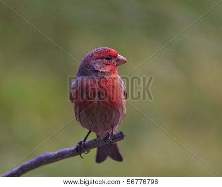 Male purple pinch in winter colors (Carpodacus purpureus)