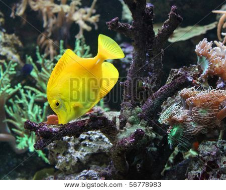 Zebrasoma yellow tang fish in aquarium