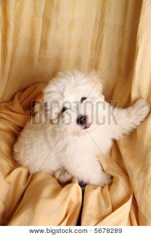 Pure Coton de Tuléar puppy