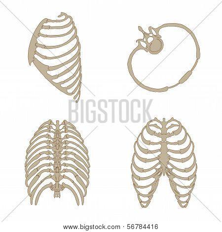 ribs bone