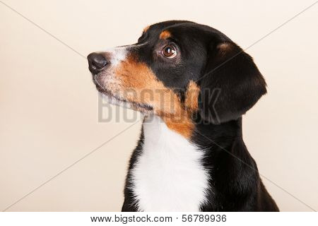 Portrait of an Entlebucher Sennenhund on cream colored background