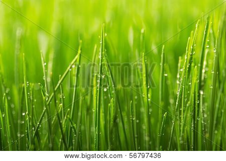 Green Wet Grass With Dew On A Blades.