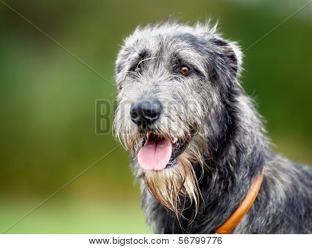 Scottish Wolfhound
