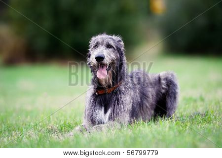 Sitting Scottish Wolfhound