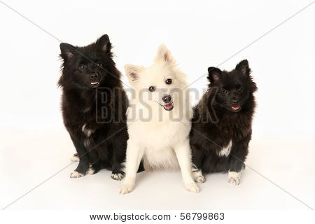 Three Volpino Italiano Dogs