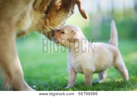 Golden Retriever With Puppy.