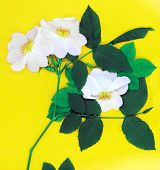 Dog rose flower and leaves on yellow background