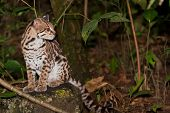 stock photo of ocelot  - An ocelot or small wild cat sits on a rock looking into the distance in the jungle of Belize - JPG