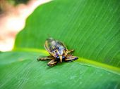 image of water bug  - The beautiful giant water bug on the banana leaf
