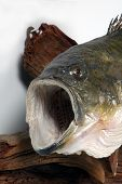 picture of bluegill  - close up of a largemouth bass - JPG
