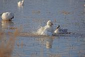 stock photo of snow goose  - Snow goose in Bosque displays to an immature bird to warn it to stay away - JPG