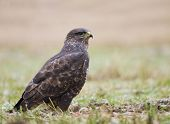 stock photo of bute  - Common buzzard Buteo bute sitting on the ground - JPG
